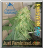 Mephisto Auto Beary White Female 3 Weed Seeds